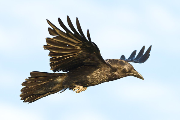 Raven in flight, wings out, side view.