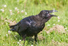 Juvenile raven on the grass, beak open, head turned, nictating membrane partially over eye.
