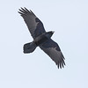 Raven in flight, overhead, wings outstretched. Reprocessed with 2012 version of camera raw. JPG max quality = 12.