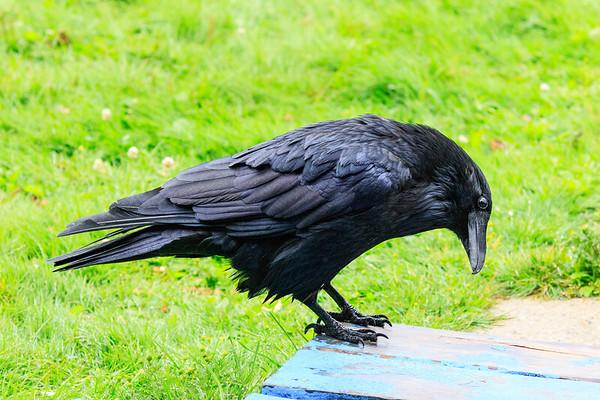 Raven checking under porch. Wet from rain.