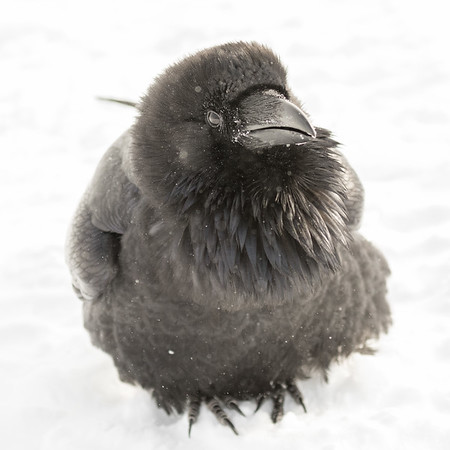 Raven sitting on snow. Body mostly out of focus.