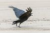 Raven starting to take off with lard in its beak.