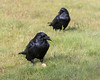 Two ravens on the grass.