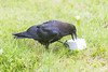 Juvenile raven with chunk of lard.