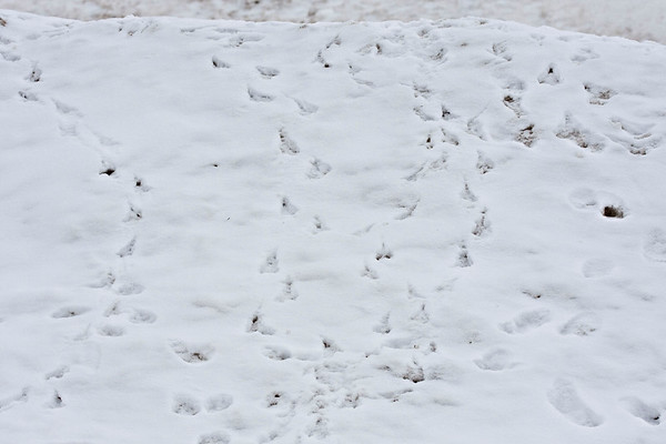 Snowbank with raven and other tracks