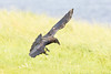 Juvenile raven coming to land, tail spread, wings out, feet down.
