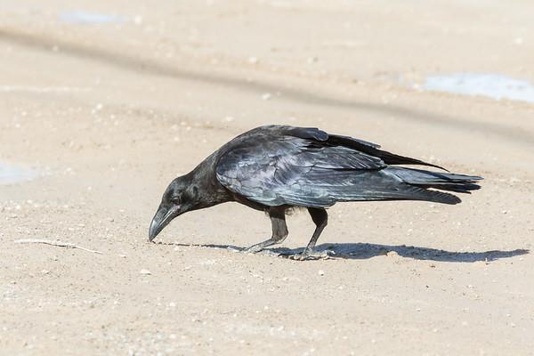 Juvenile raven examing something on the road.