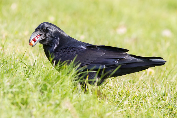 Raven eating or caching grapes.