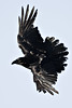 Raven turning in flight, wings extended
