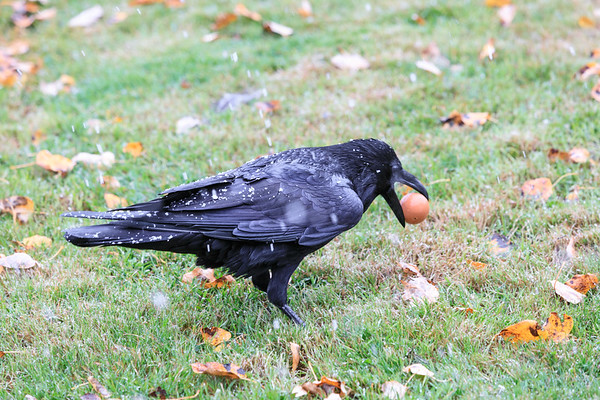 Raven on a snowy morning picking up an egg.