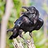 Raven on small stump, head turned, beak open.