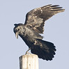 Raven on utility pole, wings up
