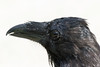 Raven headshot, beak out of focus.