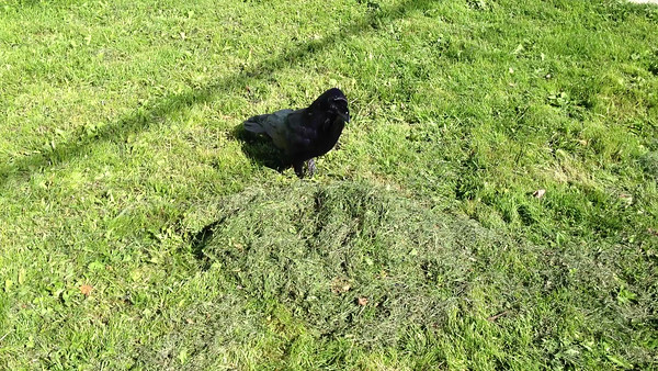 Raven looking through a pile of grass for eggs.