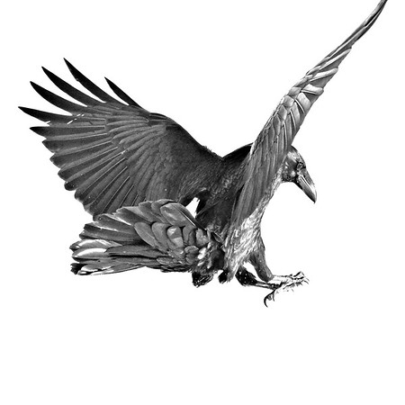 Raven about to land, view from behind, one wingtip out of frame, black and white version with non-raven portion of image blown out