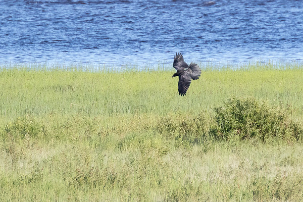 Raven flying over the sandbar, tail spread, wings out, preparing to land.