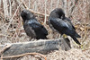 Two juvenile ravens on a piece of wood preening