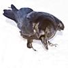 Raven on snow, digging with beak