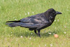 Adult raven. on the ground.
