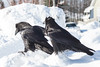 Two ravens watching events on the ice of the Moose River.