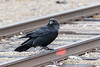 Raven with one foot on the track.