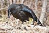 Juvenile raven looking down