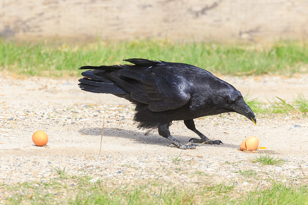 Raven eating eggs.