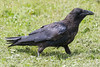 Juvenile raven in the grass.