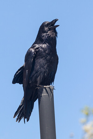 Raven sitting on vent stack.