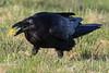 Raven eating an egg.