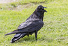 Adult raven on grass, beak open.