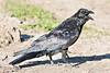 Raven, on ground, head turned, beak open.