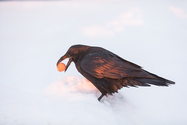 Raven picking up an egg at sunrise in Moosonee.