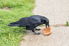 Raven eating the peanut butter from a peanut butter sandwich