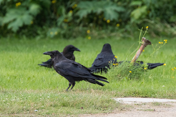 Four ravens near a piece of meat.
