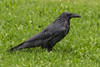 Wet raven in the grass in the rain.