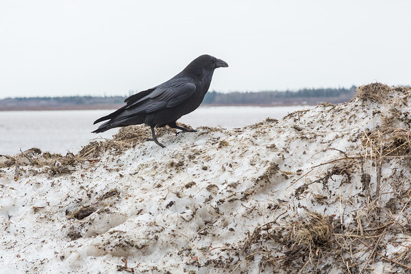 Raven on pile of snow along Revillon Road.