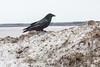 Raven on pile of snow along Revillon Road.