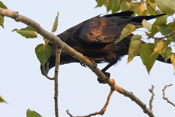 Raven in a tree picking at small branches.