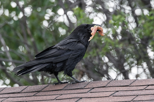Raven on roof with piece of chicken.