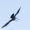 Raven descending, wings out straight, feet down.