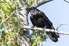Raven in a tree, nictating membrane over eye.