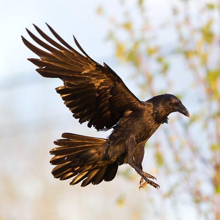 Raven in flight, feet extended, wings up.