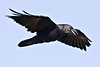 Raven in flight, wings outstretched, angled flight to camera, beak slightly open.