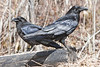 Ravens : Common Ravens (Corvus Corax) photographed around Moosonee, Ontario, Canada.
