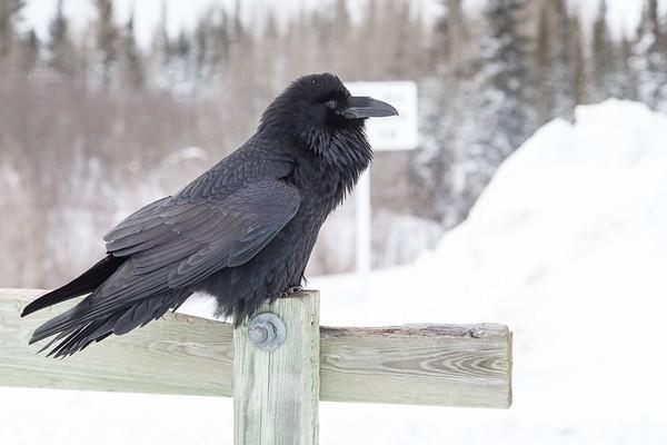 Raven on railing on Store Creek rail bridge in Moosonee..