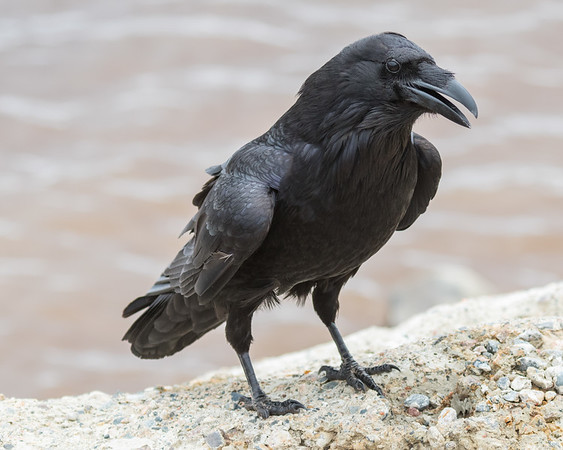 Raven with beak partially open on piece of concrete along the Moose River at Moosonee.