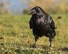 Raven in the grass, beak partially open.