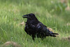 Raven in the grass with beak partially open.