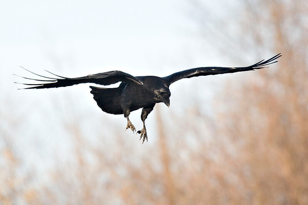 Raven coming in to land